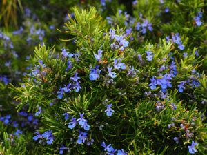 Rosemary - Effective home remedies for hair loss